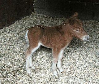 Shetland filly foal