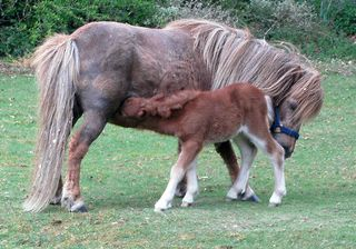 Shetland mare and day old foal